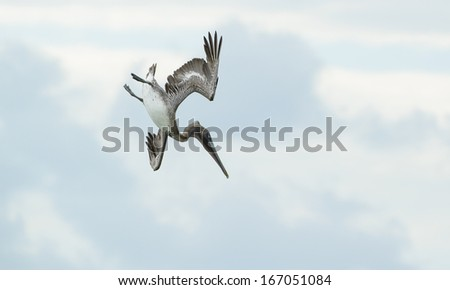 Flying Pelican bird in Dry Tortugas Florida - stock photo