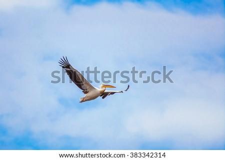 Flying Pelican in the Sky - stock photo