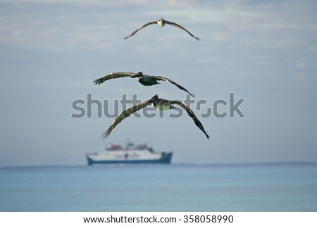 Flying pelicans looking for their pray - stock photo
