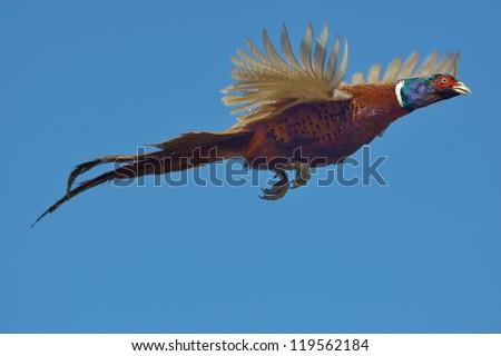 Pheasant Flying Stock ...