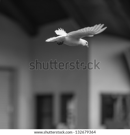 flying pigeon - stock photo