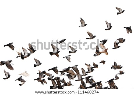 Flying pigeons. Flock (flight) of birds. Free birds isolated on a white background