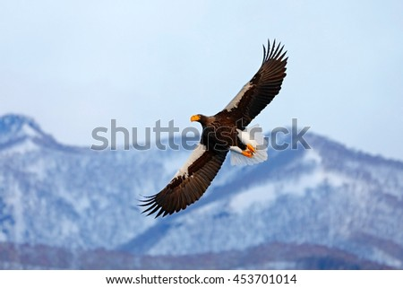 Flying rare eagle. Steller's sea eagle, Haliaeetus pelagicus, flying bird of prey, with blue sky in background, Hokkaido, Japan. Eagle with nature mountain habitat. Winter scene with snow and eagle. - stock photo