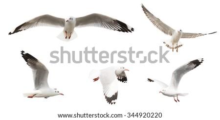 Flying Sea Gulls set, isolated on white background. - stock photo