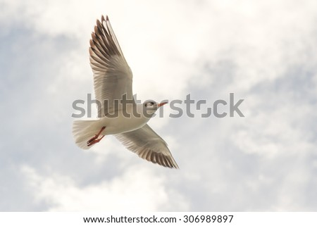 Flying seagull, most famous among seabirds, low angle