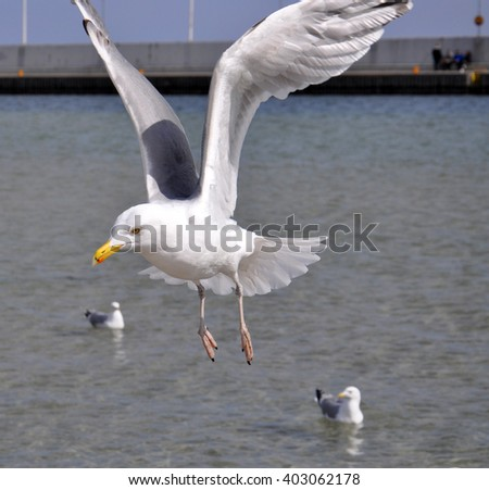 Flying seagull over the Baltic sea in Poland