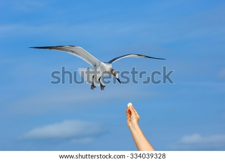 Flying seagull taking food from hand, Siesta Key beach, Florida  - stock photo