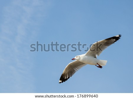 flying seagull with clear blue sky