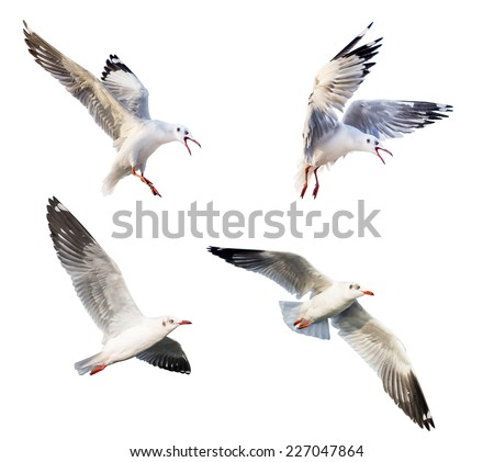 flying seagulls isolated on white background - stock photo