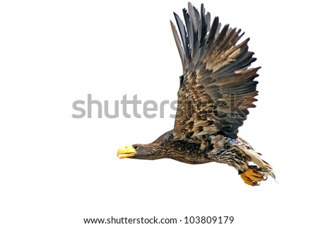 Flying Steller's Sea Eagle (Haliaeetus pelagicus) - isolated on a white background