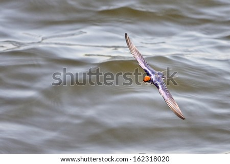 flying  Swallow in South Africa - stock photo