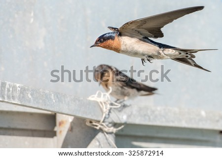 flying swallow swift on the white background - stock photo