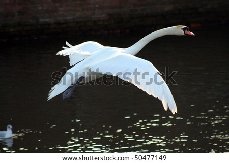 Flying swan in a city