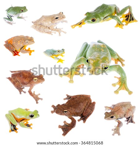 Flying tree frogs set, isolated on white background