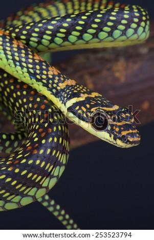 Flying tree snake / Chrysopelea paradise - stock photo