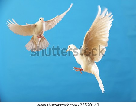 flying white doves isolated on blue - stock photo