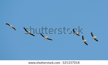 Flying White Pelicans (Pelecanus onocrotalus) above Manych lake before migrating to South. Kalmykia, Russia