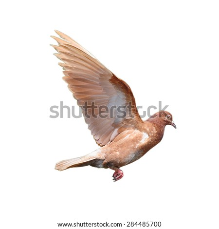Flying white pigeons isolated on white background