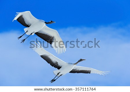 Flying White two birds Red-crowned crane, Grus japonensis, with open wing, blue sky with white clouds in background, Hokkaido, Japan - stock photo