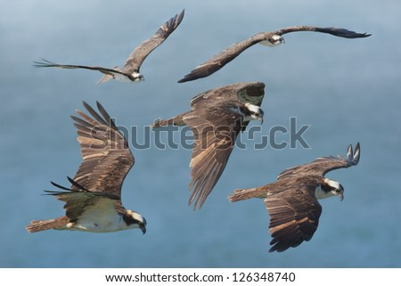 Flying with osprey. Latin name - Pandion haliaetus. - stock photo