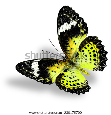 Flying Yellow Butterfly (Leopard Lacewing) on white background with soft shadow - stock photo