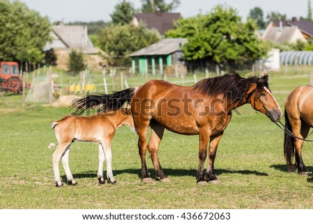 Foal and her mare. Two brown horses.