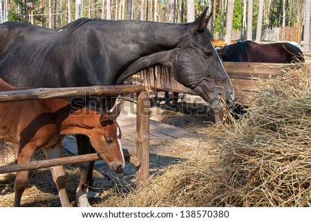 foal and his mother eating grass together - stock photo