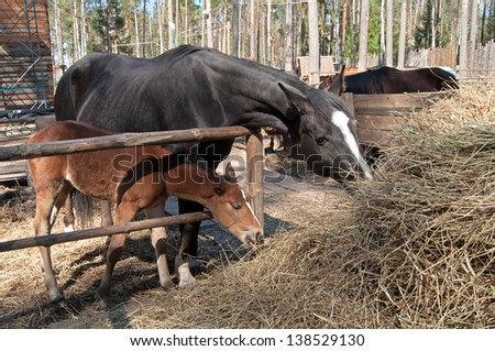 foal and his mother eating silage together - stock photo