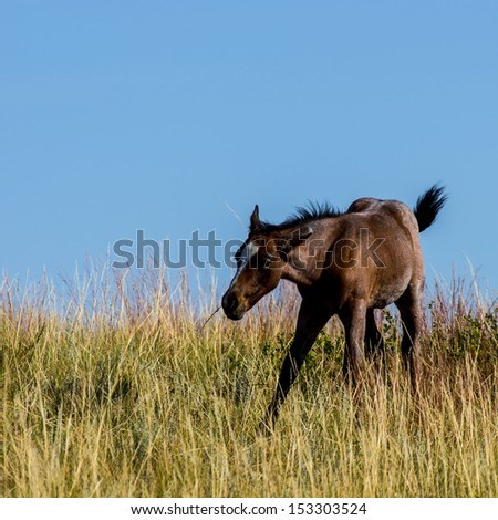 Foal at Theodore Roosevelt National Park - stock photo