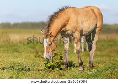 Foal grazing in the pasture - stock photo