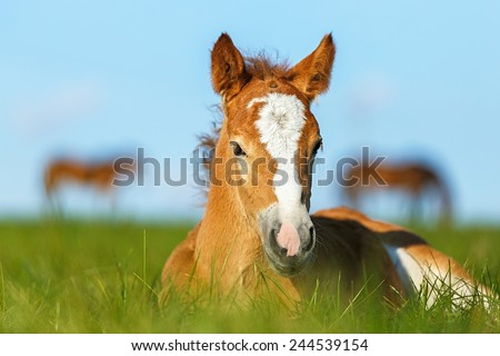 Foal having a rest in the pasture. - stock photo