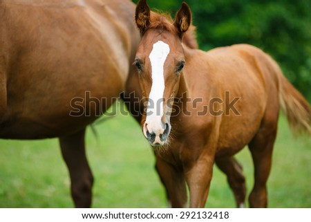 Foal horse with her mother on the meadow at summer time - stock photo