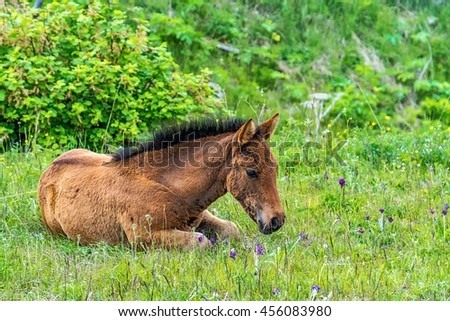 foal lying on the grass, Siberia