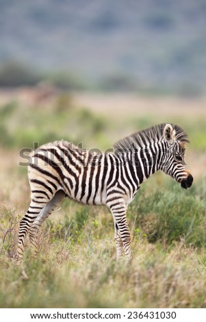 Foal of a Plains Zebra (Equus quagga) in the Amakhala Game Reserve, Eastern Cape, South Africa. - stock photo
