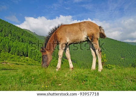 Foal on a mountain summer pasture
