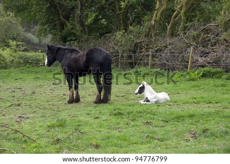 foal resting beside its mother in front of a wooded meadow in tipperary ireland - stock photo