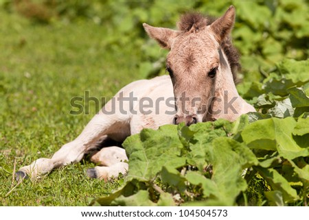 foal resting on a meadow
