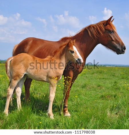 Foal with a mare on a summer pasture. - stock photo