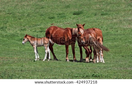 Foal with parents grazing on meadow close to mothers - stock photo