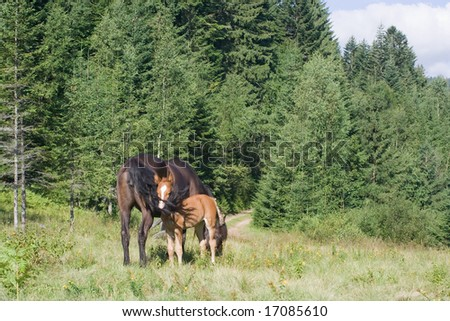 Foal with your mare in mountain's meadow on uktainian Carpathian
