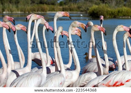 Fock of greater flamingos, phoenicopterus roseus, in a pond in Camargue, France - stock photo