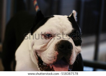 Focus eye of happy white color Pit bull dog, smile dog face ,American Staffordshire Terrier Puppy portrait