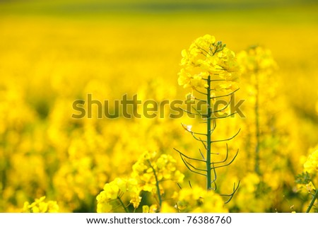 Focus on a single rapeseed flower in a field full of the yellow spring crop. - stock photo