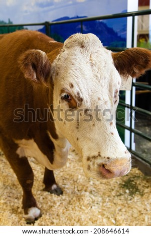 Focus on the head of a cow at a dairy farm.