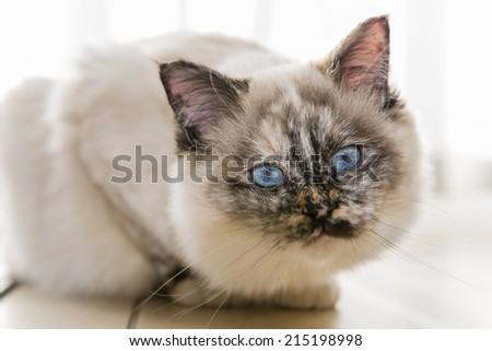 Focus on the head of a seal tortie point Sacred of Burma female cat looking at camera. Color image portrait of purebred cat. Seven months old.