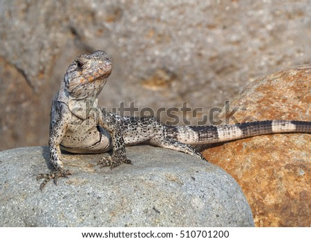 Focus Stacked Photo of Young Iguana on Boulders