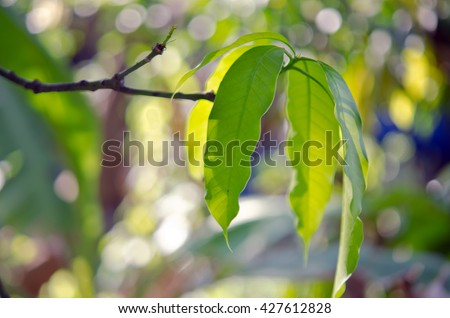 Focus view of Mango leaf with bokeh background - stock photo