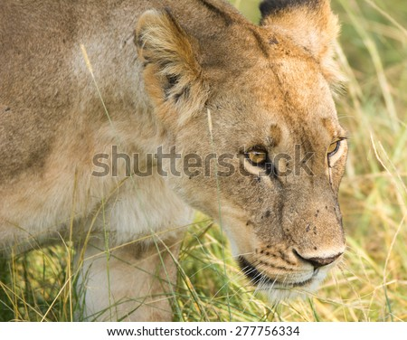 Focused lioness hunting prey in the tall grass, Serengeti National Park, Tanzania  - stock photo
