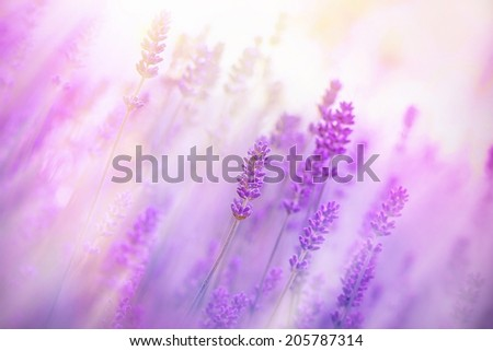 Fog in the field of lavender - stock photo
