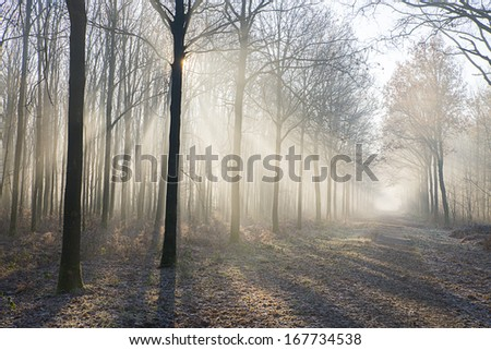 fog in the woods with rays of light between the trees  - stock photo